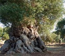 Millenari di Puglia: sabato cicloescursione da Costa Merlata a Torre Pozzelle