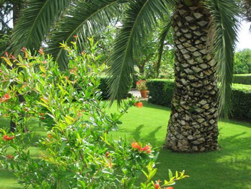 Ruba due alberi di palma dalla villa confiscatagli - Tipi di palma da giardino ...