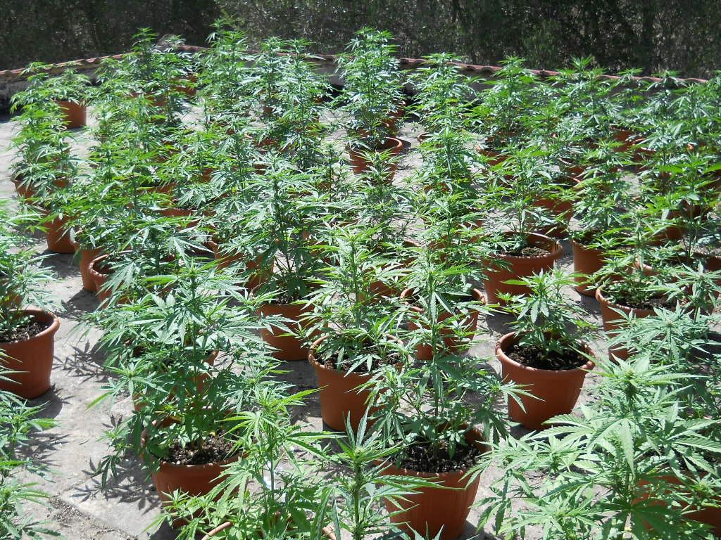 Coltiva 173 piante di marijuana sul terrazzo scoperto - Erba vera sul terrazzo ...