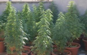 In casa piante di cannabis alte oltre un metro: arrestato 20enne
