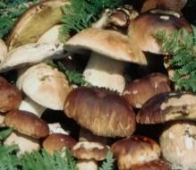 A Brindisi e provincia un caso al giorno di intossicazione da funghi: i consigli dell'esperto