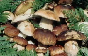 Raccolta funghi amatoriale: le raccomandazioni dell'Asl