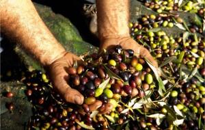 Rubano 4 quintali di olive, il proprietario li scopre: denunciati