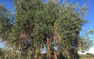 Emergenza Xylella: Ostuni, Fasano, Ceglie, Carovigno, Cisternino e San Michele chiedono un incontro in Regione