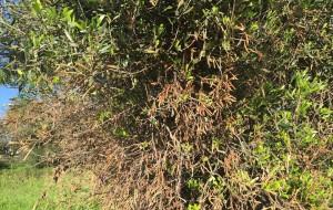 Xylella fastidiosa: il fronte si sposta verso il nord: due ulivi infetti a Fasano
