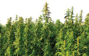 Il Consiglio regionale approva all'unanimità la legge su coltivazione canapa per scopi produttivi ed ambientali