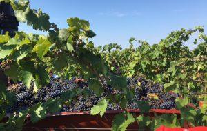 Nell'agricoltura e nella vitivinicoltura un po' di futuro per Brindisi. Di Carmine Dipietrangelo