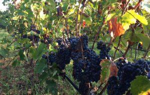Il vino di Brindisi: Nuova consapevolezza e nuovo impegno per la vitivinicoltura brindisina