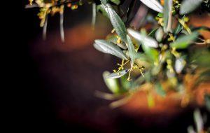 """L'olio """"Karpene"""" di Carovigno ottiene il Presidio Slow Food"""