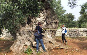 Arriva il Premio per il miglior ulivo monumentale di Puglia 2017