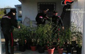 I Carabinieri vanno per contestare un allaccio abusivo alla rete elettrica ma trovano tantissima marijuana