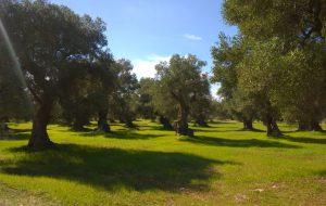 Domenica escursione a Torre Guaceto tra gli ulivi secolari