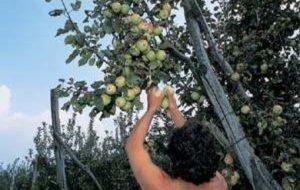 Ruba 60 Kg di frutta da fondo agricolo: arrestato