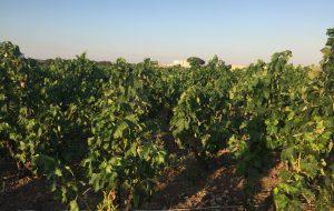 Il vino di Brindisi. Di Carmine Dipietrangelo