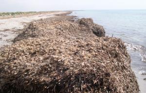 Posidonia spiaggiata a Villanova: l'allarme della Pro Loco Ostuni Marina