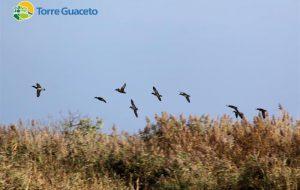Gli uccelli svernanti tornano a Torre Guaceto