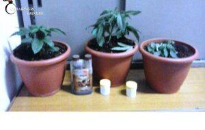 Tre piante di marijuana in camera da letto: arrestato 31enne