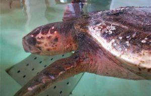 Salvata Tartaruga Caretta Caretta: era intrappolata nelle vasche di aspirazione del petrolchimico