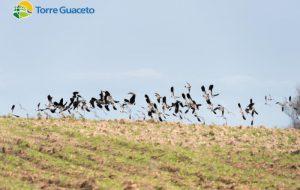 La pavoncella è tornata a Torre Guaceto grazie all'agricoltura bio