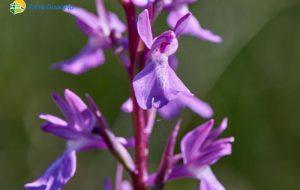 Le orchidee a rischio di estinzione di Torre Guaceto: aiutaci a proteggerle, non toccarle!