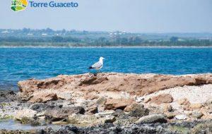 Benvenuti pulcini di gabbiano reale! Una nuova specie mette su famiglia a Torre Guaceto: