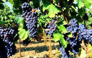 Lunedì 28 a Brindisi Vendemmia Sociale e merenda della tradizione contadina