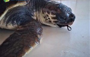 L'inquinamento uccide le tartarughe: circa 50 gli animali curati a Torre Guaceto in 2 anni