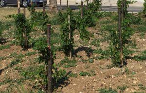 Brindisi punta sulla cultura del vino: martedì la potatura didattica del vigneto di via del Mare
