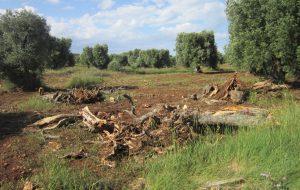 Ulivi secolari abbattuti nel Parco di Serranova: denuncia dei  No TAP Brindisi