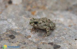 Anche le specie comuni sono speciali: il rospo smeraldino di Torre Guaceto