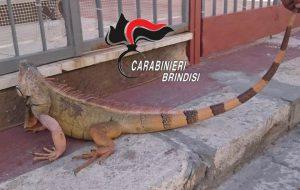 In casa un iguana lungo 1,20 metri: denunciato muratore di San Pietro