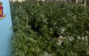 Tre quintali di marijuana nel locale concesso dal Comune: arrestato Quintino Trane