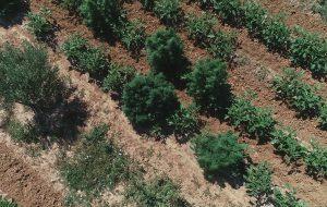 Pianta oltre 400 piante di marijuana su un terreno di contrada Brancasi