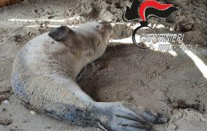 Avviate le analisi necroscopiche sul cucciolo di foca monaca spiaggiato a Torre San Gennaro