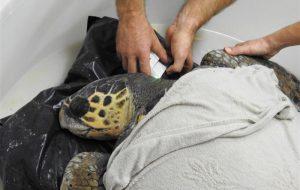 La storia di Cohiba, la tartaruga con gli occhi chiusi, ed il sogno di ridarle la vista