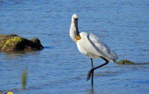 Il ritorno delle Spatole a Torre Guaceto nel World Migratory Bird Day