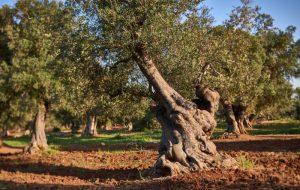 Torre Guaceto, Slow food e WWF lanciano l'appello: non abbattete gli ulivi