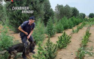 In un terreno fucile, munizioni e cannabis indica: intervengono i Carabinieri