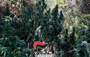 Pezze di Greco: una mini serra di marijuana tra la vegetazione: due arresti e una denuncia