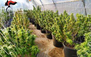 Allestisce serra per la coltivazione di marijuana: maxisequestro a Mesagne