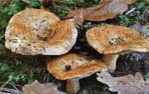 Gal Alto Salento 2020: al via il II° Corso di formazione per il rilascio del permesso alla raccolta dei funghi epigei spontanei