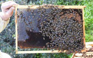 Torre Guaceto habitat ideale per le api: qui vivono meglio e producono più miele