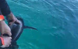 Raro squalo nei pressi di Torre Guaceto: pescatori e Consorzio lo salvano