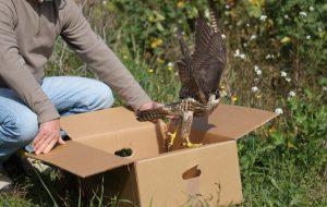 Centro fauna selvatica di Brindisi. Rilascio uccelli selvatici nel Bosco di Cerano e nelle Saline di Punta della Contessa