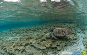 Aree protette e tartarughe marine: Torre Guaceto e Porto Cesareo unite per salvare gli animali