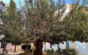 Brindisi e le Antiche Strade: Il danneggiamento del Carrubo di via Tarantini – chiediamo il censimento degli alberi monumentali