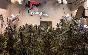 San Michele Salentino. Rinvenuta una serra con 63 piante di marijuana, nonché 335 grammi di infiorescenze di cannabis indica
