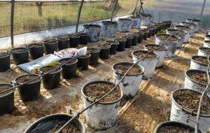 Nel corso della perquisizione domiciliare spuntano un Kg di marijuana ed 82 piante di canapa: arrestato 49enne