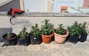 Allestisce serra casalinga per la coltivazione della marijuana: arrestato 31enne